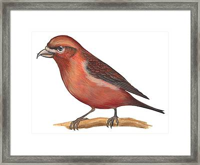 Red Crossbill Framed Print by Anonymous