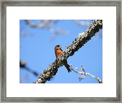 Red Crossbill Finch Framed Print by Marilyn Wilson