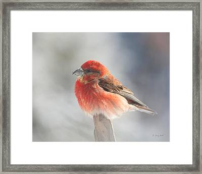 Red Crossbill Framed Print by Gerry Sibell