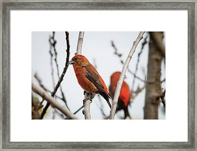 Red Crossbills Perch In A Willow Framed Print by Robert L. Potts