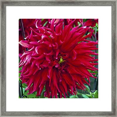 Red Dahlia Framed Print by Mandy Judson
