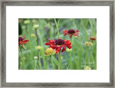 Red Daisy Framed Print by Linda Meyer