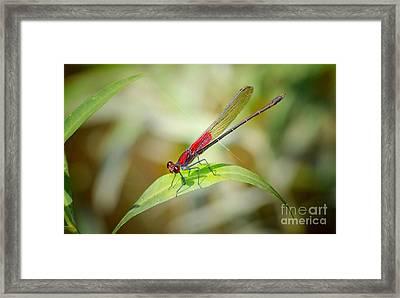 Red Damselfly Framed Print by Peggy  Franz