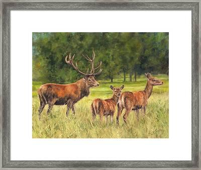 Red Deer Family Framed Print by David Stribbling
