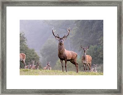 Red Deer In Autumn Framed Print by Reiner Bernhardt