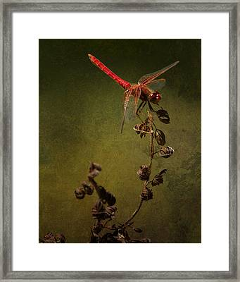 Red Dragonfly On A Dead Plant Framed Print by Belinda Greb