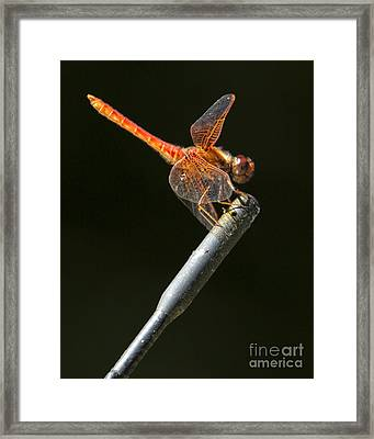 Red Dragonfly On An Antenna Framed Print by Belinda Greb