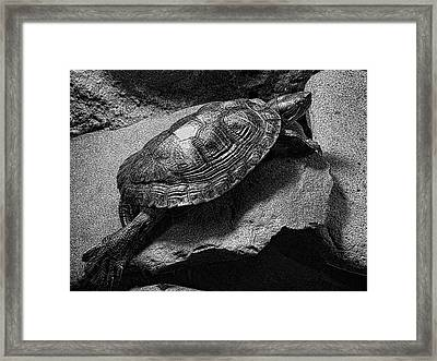 Red-eared Slider Turtle Framed Print by Daniel Hagerman