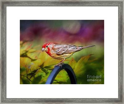 Red Finch Framed Print by Darren Fisher