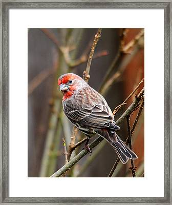 Red Finch In Tree 4 Framed Print by Rebecca Cozart