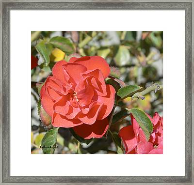 Red Flower IIi Framed Print by Barbara Snyder