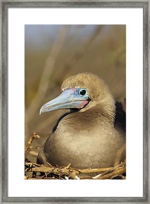 Red-footed Booby Incubating Eggs Framed Print by Tui De Roy
