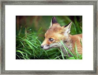 Red Fox Cub Framed Print by Alex Hyde