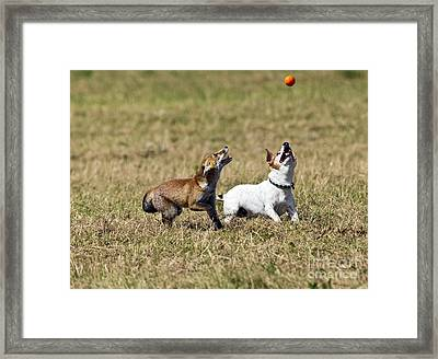 Red Fox Cub And Jack Russell Playing Framed Print by Brian Bevan