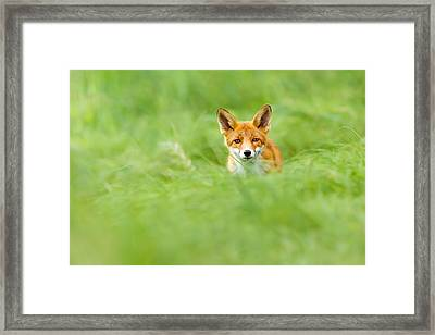 Red Fox In A Sea Of Green Framed Print by Roeselien Raimond
