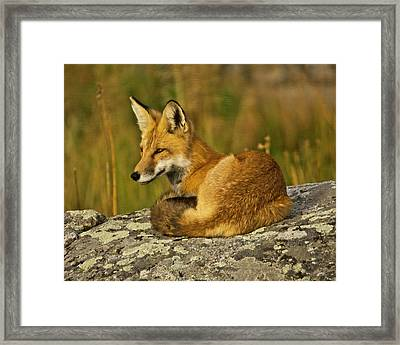 Red Fox, Resting, Rock, Lamar Valley Framed Print by Michel Hersen