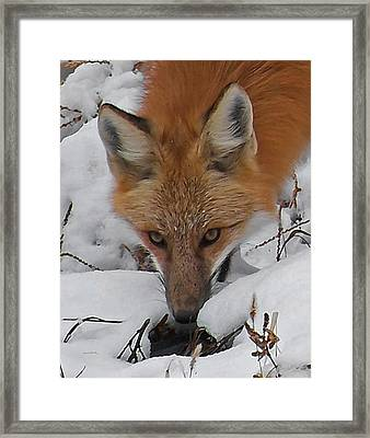 Red Fox Upclose Framed Print by Ernie Echols