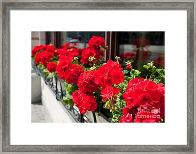 Bunches Of Vibrant Red Pelargonium Flowering  Framed Print by Arletta Cwalina