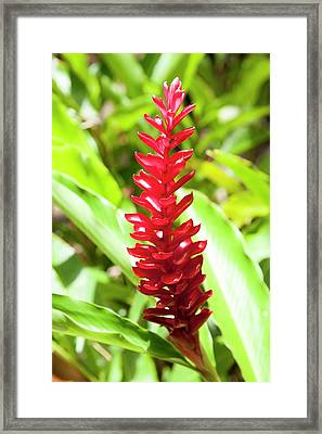 Red Ginger (alpinia Purpurata) In Flower Framed Print by Jim Edds