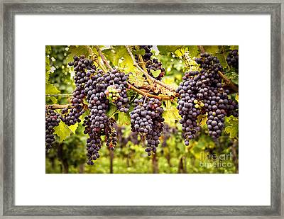 Red Grapes In Vineyard Framed Print by Elena Elisseeva