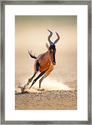 Red Hartebeest Running Framed Print by Johan Swanepoel
