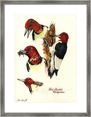 Red Headed Woodpecker Bird Framed Print by Juan  Bosco