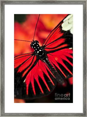 Red Heliconius Dora Butterfly Framed Print by Elena Elisseeva