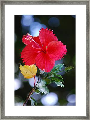 Red Hibiscus Flower Framed Print by Michelle Wrighton