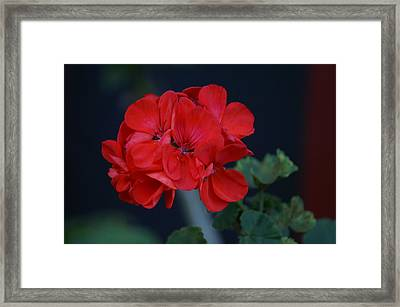 Red Is My Blossom Framed Print by Thomas D McManus