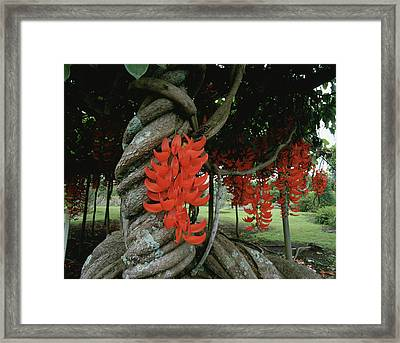 Red Jade Vine Framed Print by Douglas Peebles