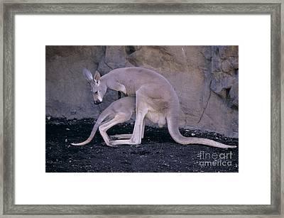 Red Kangaroo. Australia Framed Print by Art Wolfe