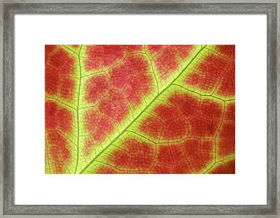Red Leaf Abstract Framed Print by Nigel Downer