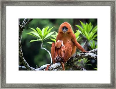 Red Leaf Monkey Suckling Framed Print by Paul Williams