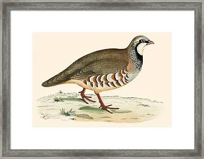 Red Legged Partridge Framed Print by Beverley R Morris