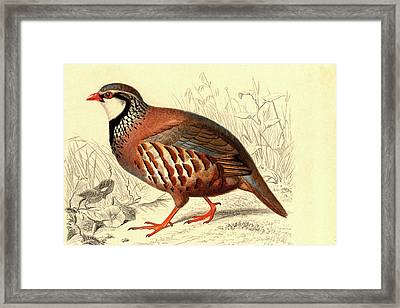 Red-legged Partridge Framed Print by Collection Abecasis