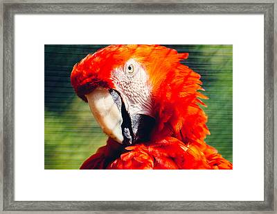 Red Macaw Closeup Framed Print by Pati Photography