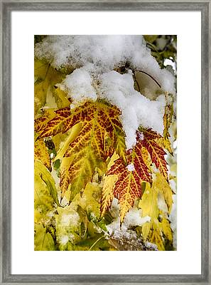 Red Maple Leaves In The Snow Framed Print by James BO  Insogna