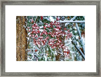 Red Maple With Snow Framed Print by John Haldane