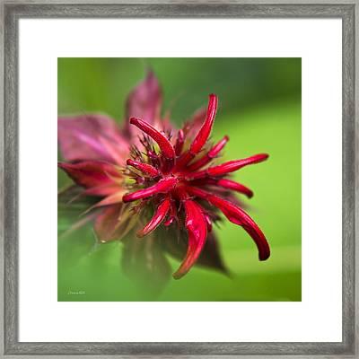 Red Monarda Flower Framed Print by Christina Rollo