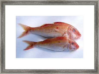 Red Mullet Framed Print by Science Photo Library