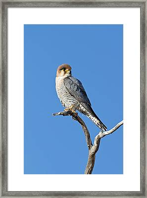 Red-necked Falcon Perched On A Branch Framed Print by Tony Camacho