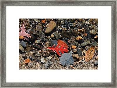 Red Oak Leaf Framed Print by Michael Saunders