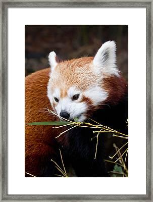 Red Panda  Ailurus Fulgens In Captivity Framed Print by David Kenny