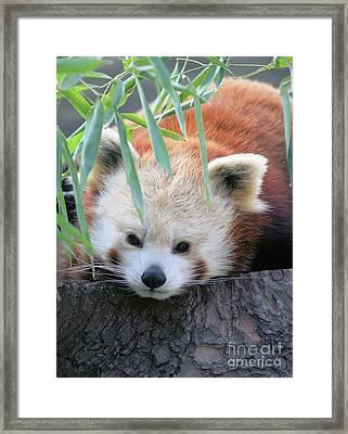 Red Panda Framed Print by Karol Livote