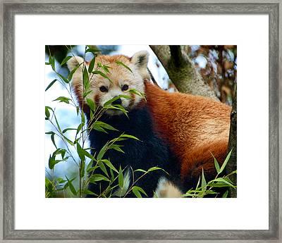 Red Panda Framed Print by Trever Miller