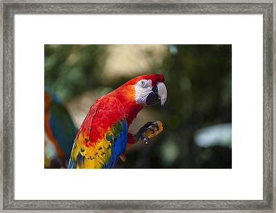 Red Parrot  Framed Print by Garry Gay