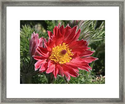 Red Pasque Flower Framed Print by Carol Groenen