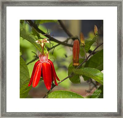 Red Passion By Julia Framed Print by Anne Rodkin