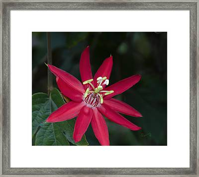 Red Passion Flower Framed Print by Penny Lisowski