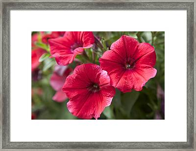 Red Petunias Framed Print by Terry Horstman
